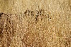 guepard0