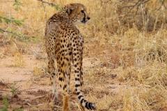 guepard1